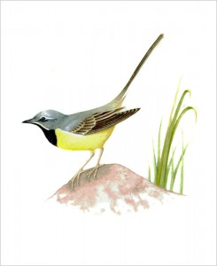 Grey wagtail original watercolour