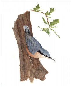 Nuthatch original watercolour