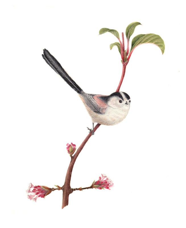 Long tailed tit original watercolour