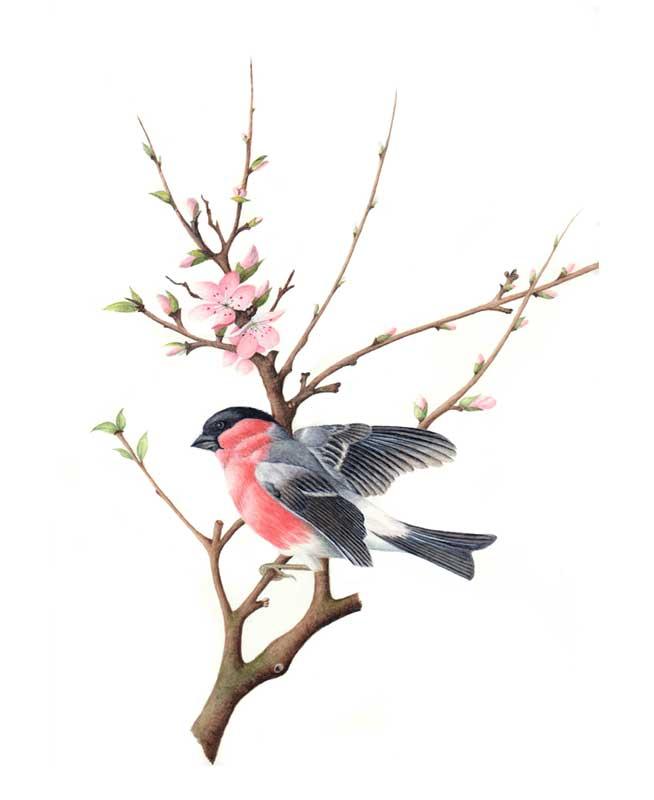 Bullfinch original watercolour