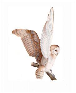 barn-owl2
