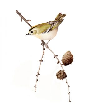Goldcrest original watercolour