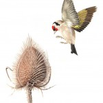 goldfinch-and-teasel
