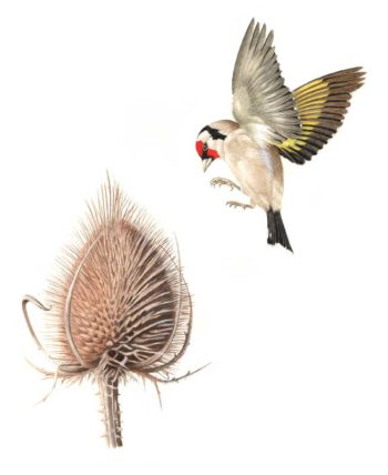 Goldfinch and teasel original watercolour