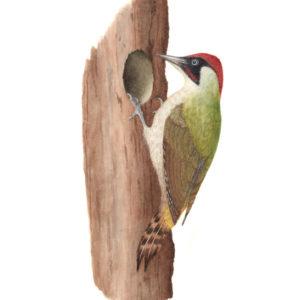 Green woodpecker original watercolour