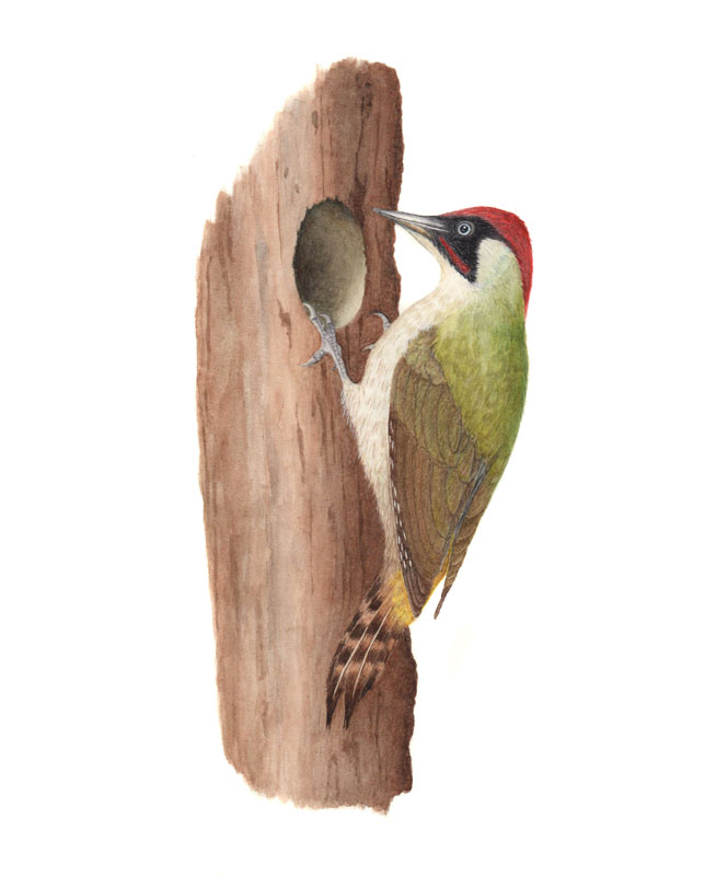 Green woodpecker original watercolour