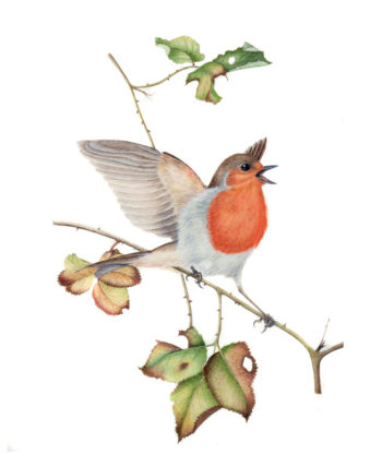 Robin original watercolour