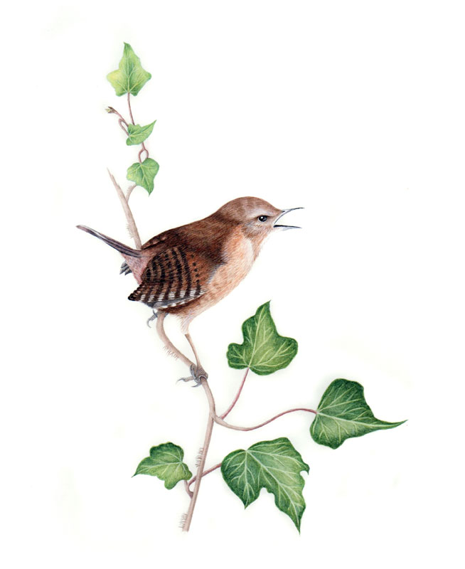 Wren original watercolour