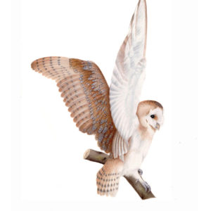 Barn owl original watercolour
