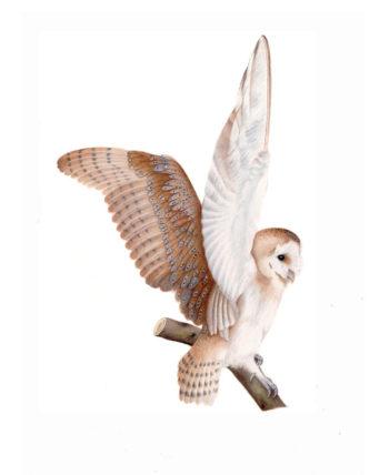 Barn owl original watercolour