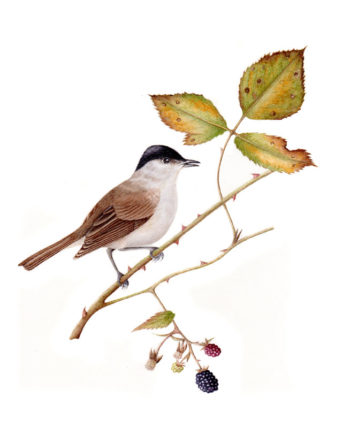 Blackcap original watercolour