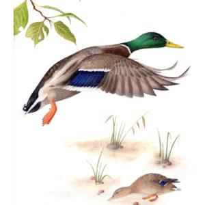Mallard original watercolour