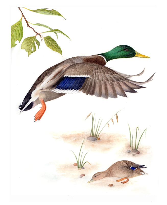 Mallard original watercolour
