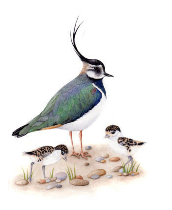 Lapwing original watercolour