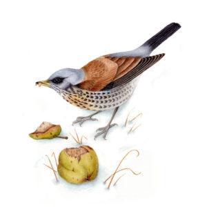 Fieldfare original watercolour