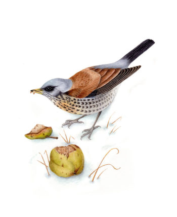 Fieldfare original watercolour