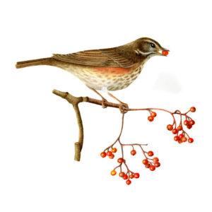 Redwing original watercolour