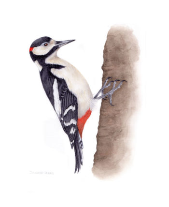 Greater spotted woodpecker original watercolour