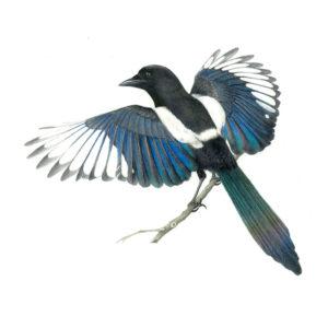 Magpie original watercolour