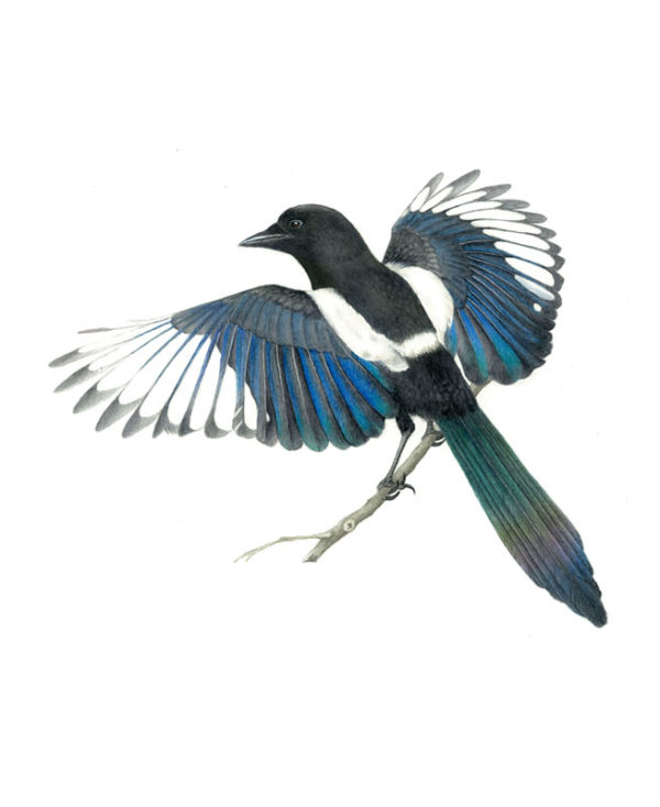 Magpie original watercolour