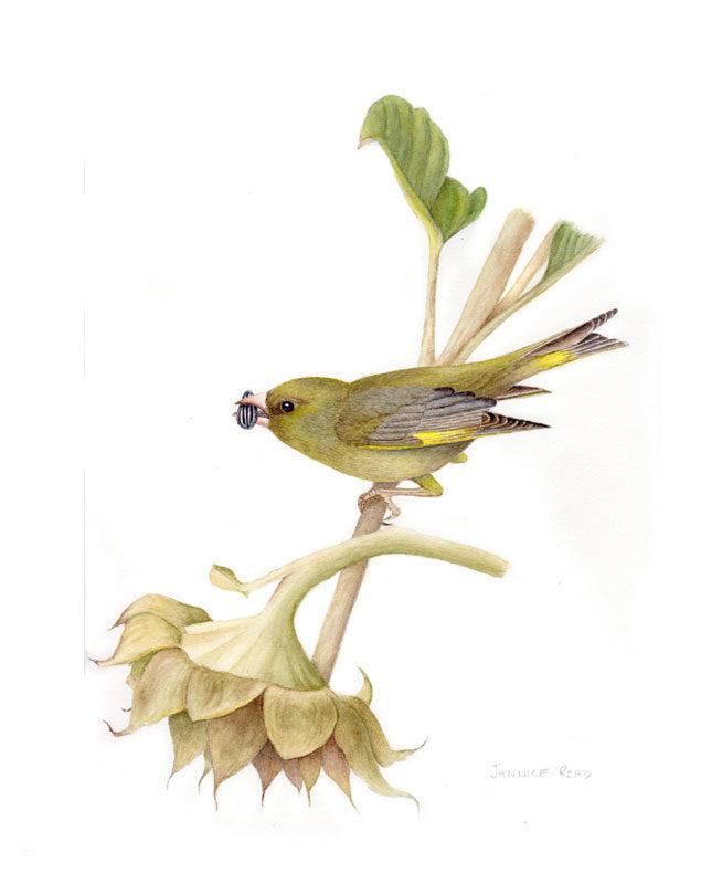 original greenfinch watercolour painting