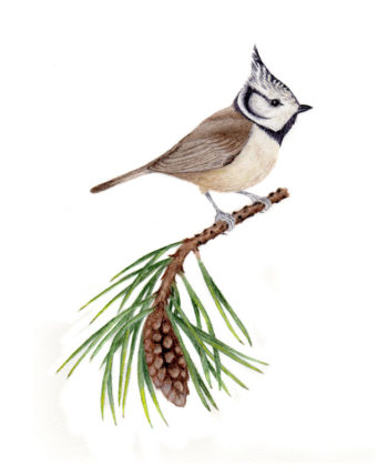 Crested tit cards and notelets
