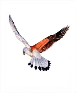 Kestral original watercolour