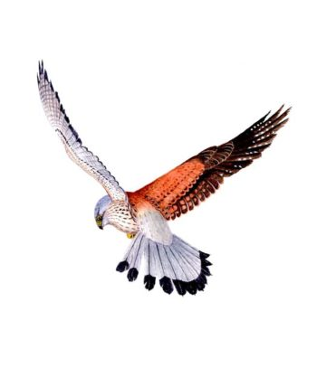 Kestral cards and notelets