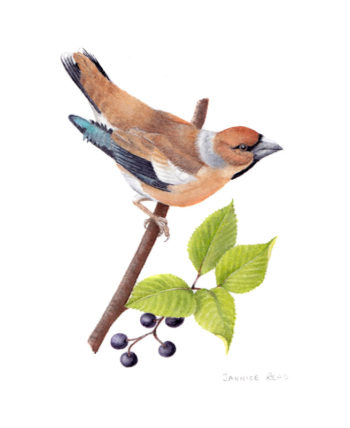 Hawfinch original painting