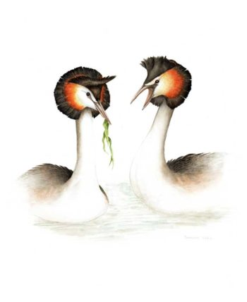 Great Crested Grebe original painting