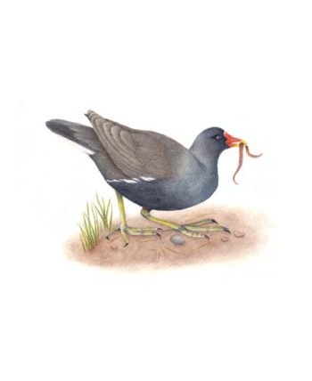 Moorhen original painting