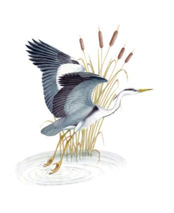Grey Heron original painting